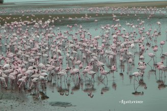 2016NA0958-Walvis Bay-Flamands Roses