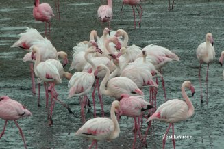 2016NA0961-Walvis Bay-Flamands Roses